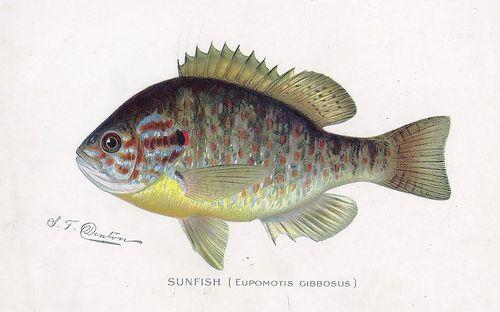 Densunfish